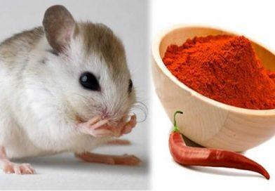 4 cách đuổi chuột hiệu quả nhất được nhà nhà làm theo và đều tấm tắc khen