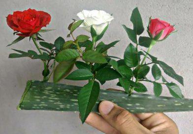 Trồng hoa hồng bằng lá nha đam: Cây lớn nhanh, hoa bung nở rực rỡ tha hồ mà ngắm